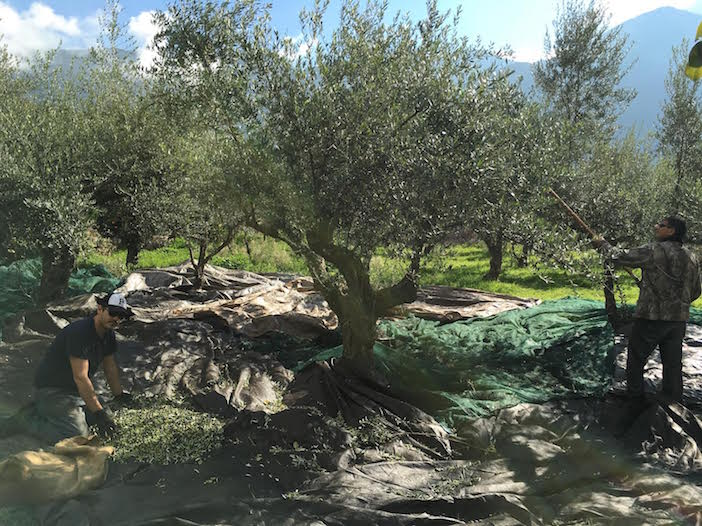It's always natural and organic at Oilio-- and harvested the way Greeks have been harvesting olive trees for thousands of years